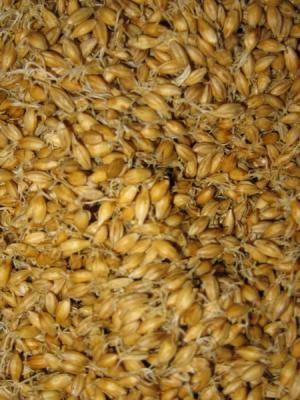 Ростки пшеницы –«живая еда».